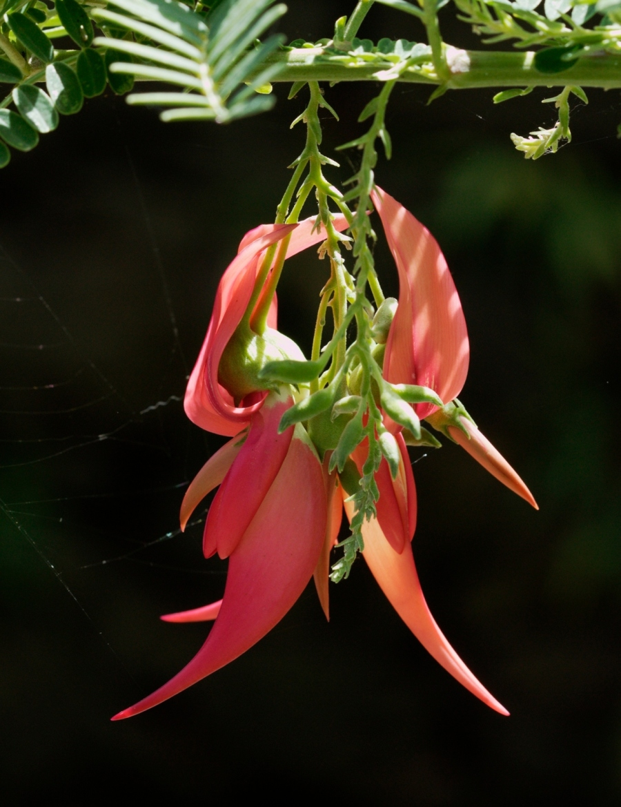 Kakabeak_(Clianthus_sp.)_at_Auckland_Zoo