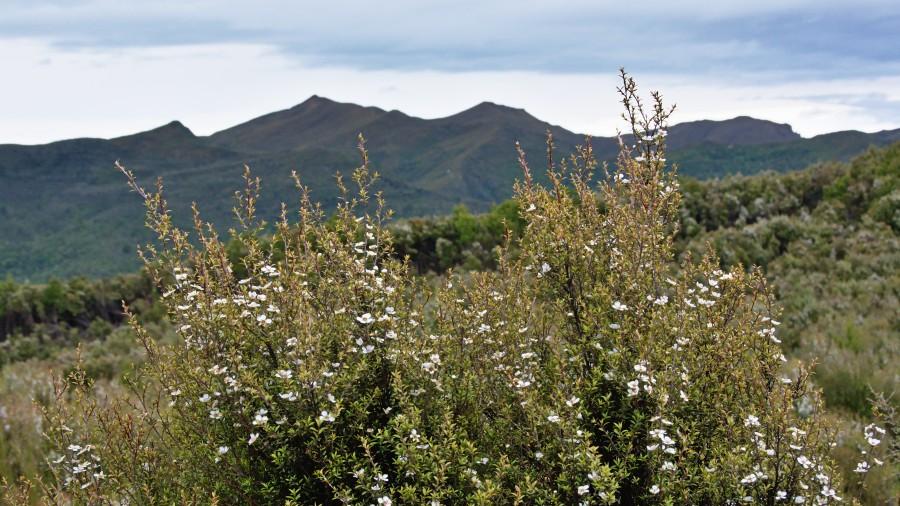 Manuka bush flowers